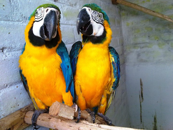 Blue Amp Gold Macaw